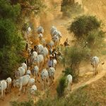Burmese farmer and his white cows on the road to farm in Salay