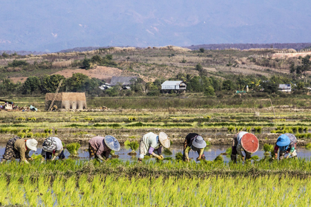 Farmers planting wet rice near Taungoo