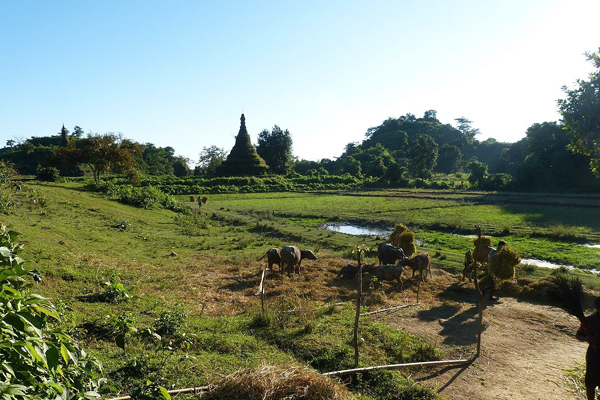 Stupas between a farm in Pitakataik, Mrauk U