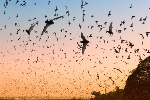 The bats leave for hunting in early evening, Hpa An