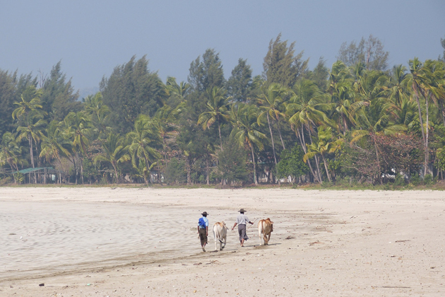 Two men leading the buffaloes from farm back to home, Kanthaya Beach