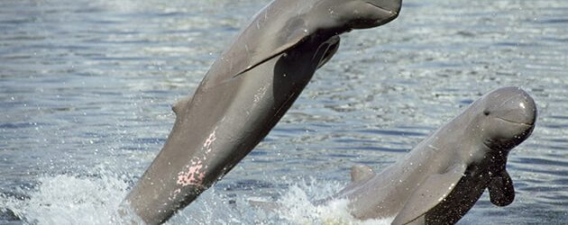 watch Ayeyarwaddy Dolphin in mandalay tour