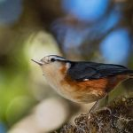 Myanmar endemic bird White-browed Nuthatch