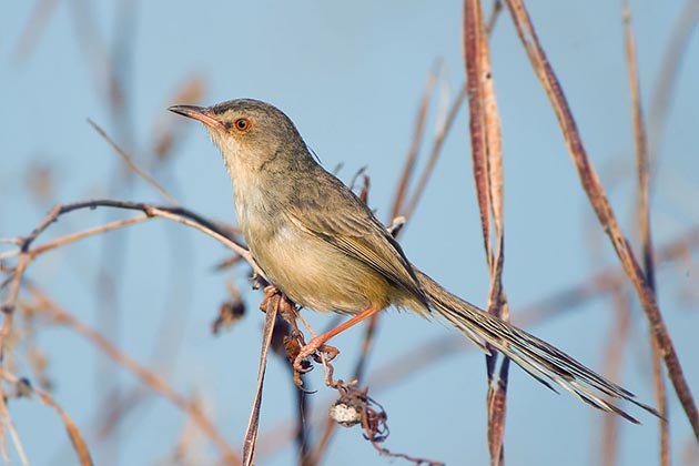 Brown Prinia in Myanmar