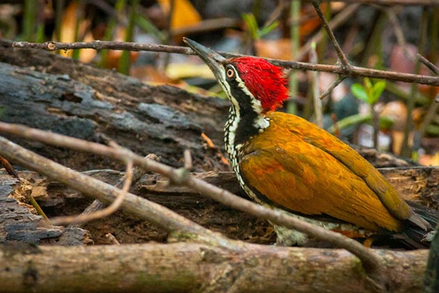 Greater Flameback in Myanmar