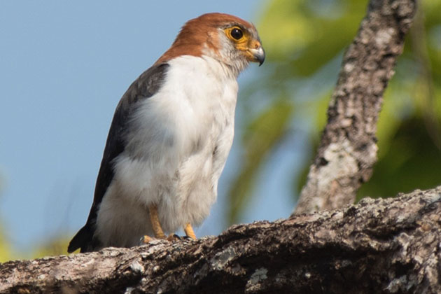 The white rumped Falcon