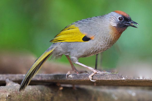 silver eared laughingthrush in Kalaw Myanmar
